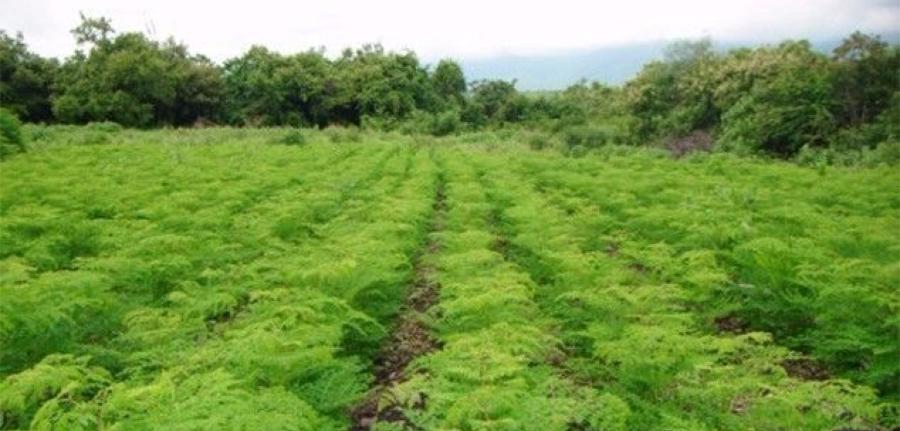 INNOCORP Sarl : Producer and exporter of organic Moringa